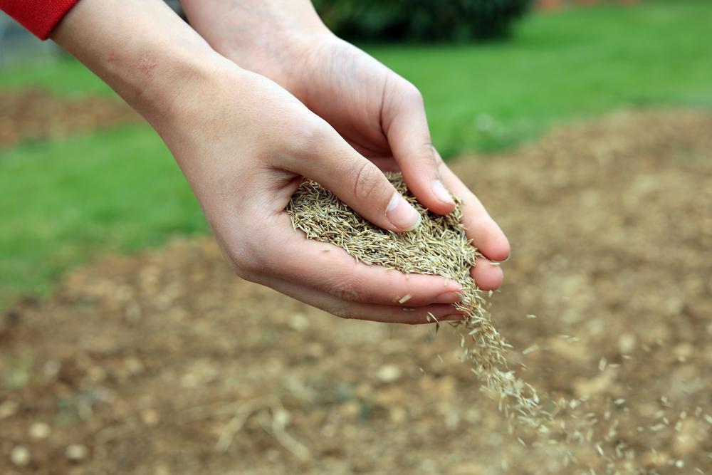 plantarea gazonului