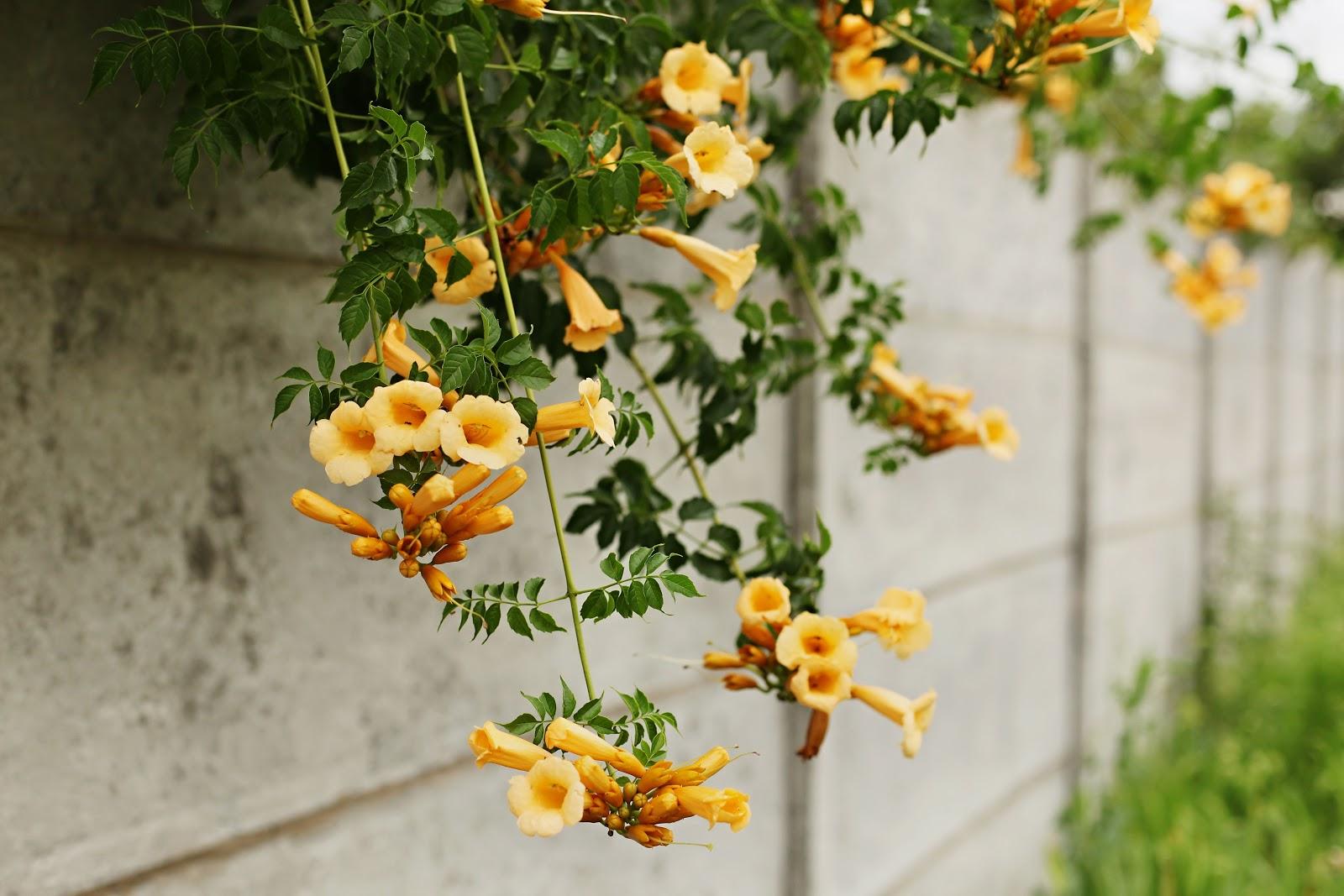 Flori de gradina cataratoare