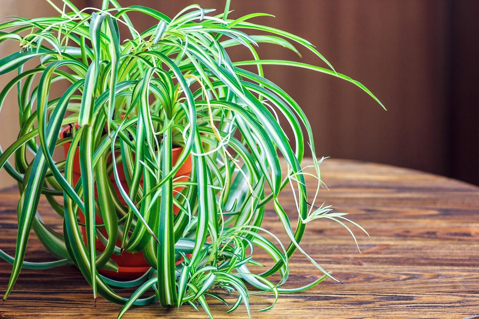 Planta paianjen