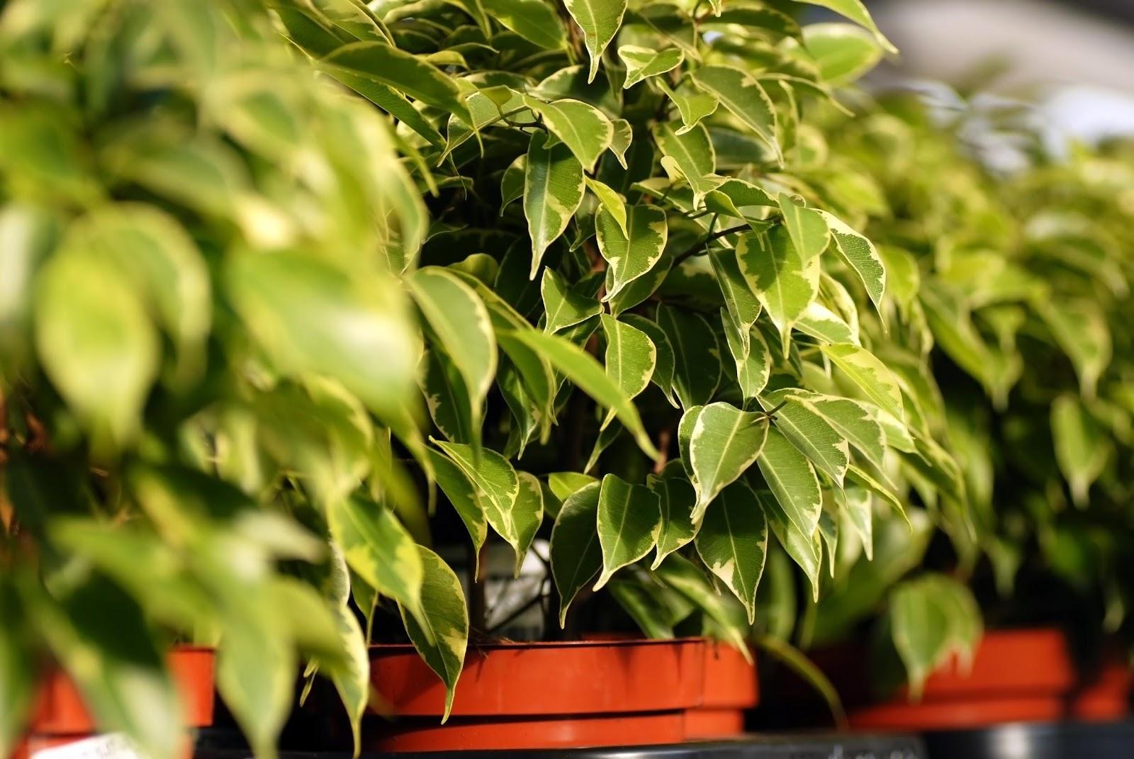 Ficus plangator