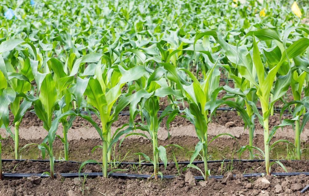 Irigarea prin picurare - inovatie in agricultura